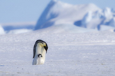 AN02DPD0195 Snow Hill Island, Antarctica. Emperor penguin and chick out for a stroll on a sunny day.
