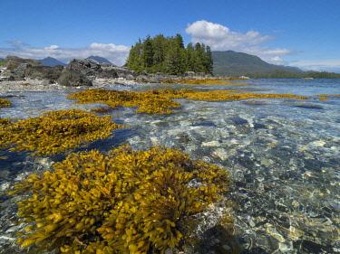 CN02JME0008 Canada, British Columbia, Pacific Rim National Park. Broken Islands Marine Park, kelp in shallow water near islands.