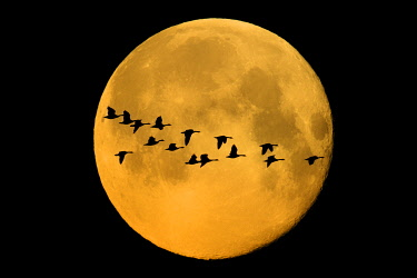 CN03BJY0564 Canada, Winnipeg. Montage of geese flying past harvest moon.