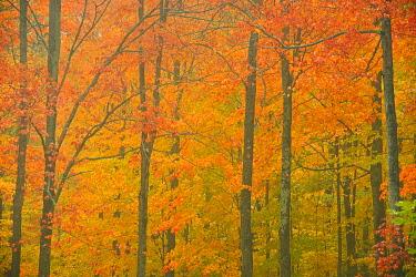 CN10BJY0263 Canada, Quebec, Reserve faunique de Rimouski. Autumn forest colors in Notre Dame Mountains.