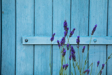EU09MNI0084 Lavender flowers growing wild against a blue wooden door in Provence region of Southern France.