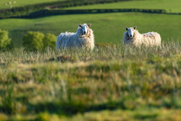 WAL7800 Allt Dolanog, Sheep grazing in pasture