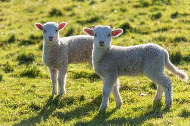 WAL7805 Wales, Dolanog, Lambs grazing in pasture