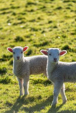 WAL7806 Wales, Dolanog, Lambs grazing in pasture