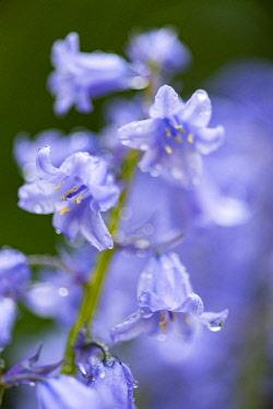WAL7810 Wales, Spanish Bluebell, Hyacinthoides hispanica
