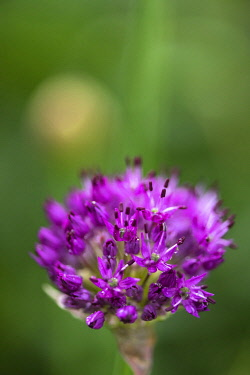 WAL7812 Wales, Allium, Ornamental onion,nAllium hollandicum