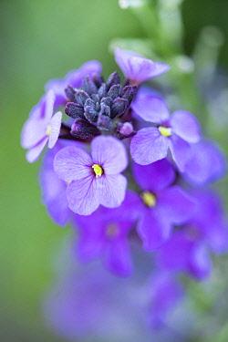 WAL7813 Wales, Erysimum Bowles Mauve - Perennial Wallflower