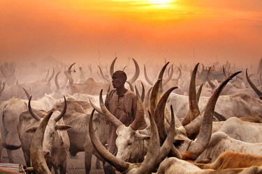 SUD1234 Africa; South Sudan; Terakeka. A Mundari herdsman among his family's herd of long-horned Ankole-Watusi cattle at sunset.
