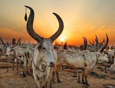 SUD1243 Africa; South Sudan; Terakeka. A large herd of Ankole-Watusi cattle are tethered near piles of burning cow dung to keep mosquitoes away at night.