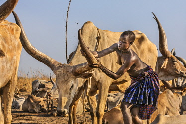 Africa; South Sudan; Terakeka. A young Mundari girl polishes the horns of her favourite long-horned Ankole-Watusi cow. Regular polishing helps to prevent the horns from cracking.