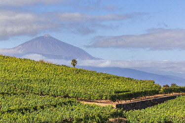 SPA9943AW Spain, Canary Islands, Tenerife, View of the vineyard of the El Monje winery. The Teide peak on the background.