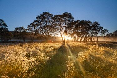 AUS4599AW Sun rising behind trees at Polblue swamp. Barrington Tops National Park, Mid North Coast, New South Wales, Australia
