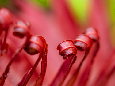 Fiji, Taveuni Island. Close-up of a red-tipped Fern.