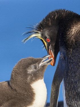 SA09MZW1854 Chick with adult on Bleaker Island. Rockhopper Penguin, subspecies Southern Rockhopper Penguin. Falkland Islands in January.