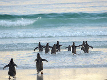 SA09MZW2058 Walking to enter the sea during early morning. Gentoo Penguin in the Falkland Islands in January.