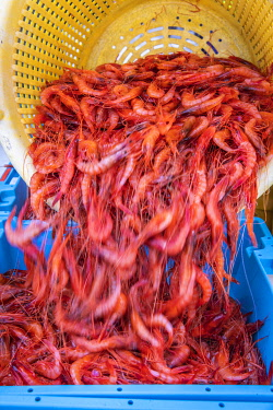 SPA10016AW Europe, Spain, Catalonia, Costa Brava, Palamos, A fisherman separates recently catched shrimps into separate trays.