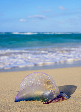 CUB2720AW Portuguese Man-of-War jellyfish at Santa Maria del Mar Beach, Habana del Este, Havana, La Habana Province, Cuba