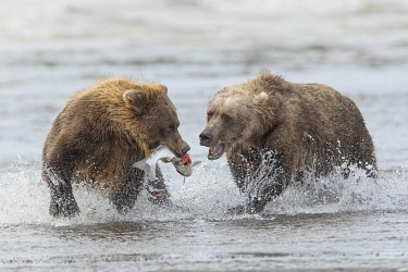 US02AJE0050 Brown bears fighting over a salmon, Silver Salmon Creek, Lake Clark National Park, Alaska.