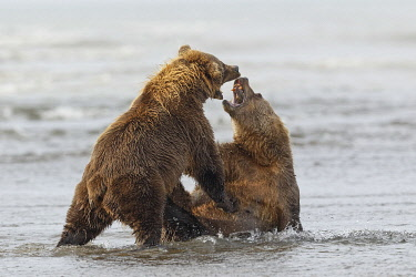 US02AJE0052 Brown bears fighting over a salmon, Silver Salmon Creek, Lake Clark National Park, Alaska.