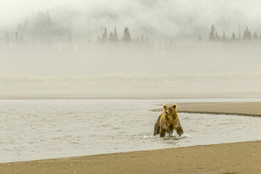 US02AJE0064 Brown bear fishing for salmon and morning mist, Silver Salmon Creek, Lake Clark National Park, Alaska.