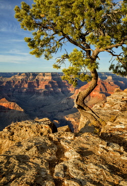 US03ACO0042 USA, Arizona, Grand Canyon National Park, Pinyon Pine grows cliffside at Hopi Point