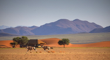 NAM6801 Namibia, NamibRand Nature Reserve, Kwessi Dunes, two oryx run past a guest chalet.