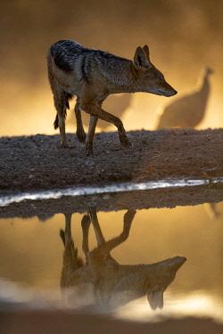 BOT5734AW Black Backed Jackal, Kalahari Desert, Botswana