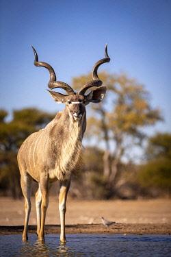 BOT5772AW Greater Kudu, Kalahari Desert, Botswana