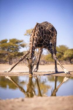BOT5780AW Giraffe, Kalahari Desert, Botswana