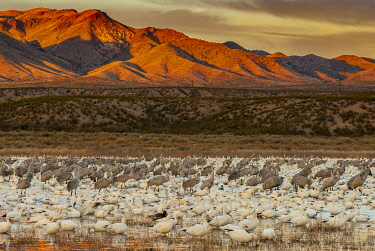 US32HGA0020 Sandhill cranes and snowgeese wade at Bosque Del Apache National Wildlife Reserve, New Mexico, USA.