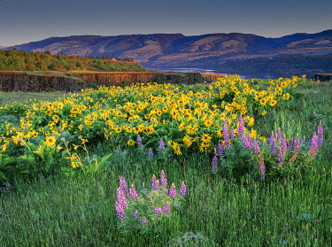 US38HGA0010 Lupine and balsamroot wildflowers at Columbia River Gorge near Hood River, Oregon.