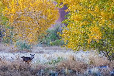US45HGA0964 Whitetail deer grazing under autumn cottonwood tree, near Moab, Utah, USA.