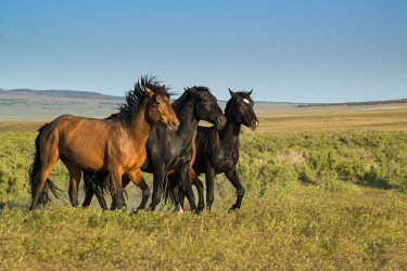 US45HGA0975 Wild stallions of Onaqui Herd graze along Pony Express Byway near Dugway and Salt Lake City, Utah, USA.