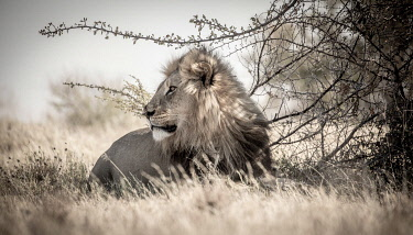 BOT5833 Camp Kalahari, Makgadikgadi, Botswana, a male Kalahari lion.