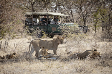 BOT5836 Camp Kalahari, Makgadikgadi, Botswana, a guide and his guests watch a pride of lion from their game viewing vehicle.