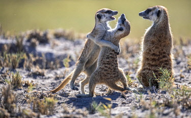 BOT5867 Camp Kalahari, Makgadikgadi, Botswana, young meerkats wrestle as an adult meerkat looks on.