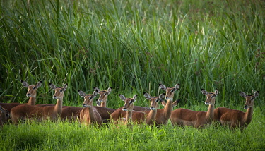 KEN11576 Sirikoi, Lewa Wildlife Conservancy, Kenya, a herd of impala stand alert in tall grass.