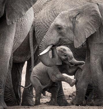 KEN11678 Enasoit, Laikipia, Kenya, a family of African elephant.