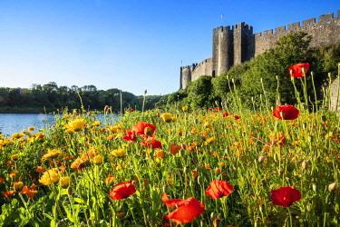WAL7829AW Europe, United Kingdom, Wales, Pembrokeshire, poppy meadow in front of Pembroke Castle