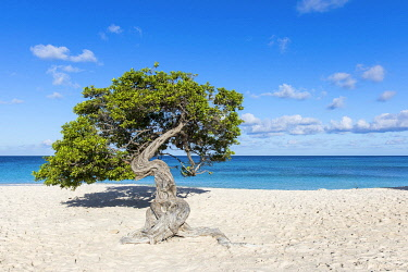 "Caribbean, Aruba, Eagle Beach, A ""Fofoti"" tree at Eagle Beach. © AWL Images"
