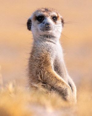BOT5993AW Meerkat, Makgadikgadi Salt Pans, Botswana