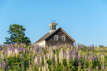 Barn with lupin flowers in late spring, Whitefield, Maine, United States
