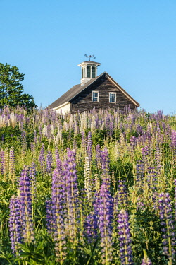 USA15918AW Barn with lupin flowers in late spring, Whitefield, Maine, United States