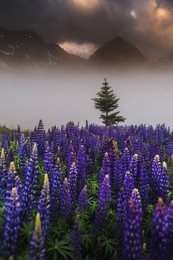 FRA12080AW Lupins growing wild Parque National des Ecrins, French Alps, France