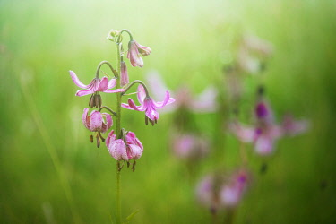 FRA12081AW Martagon Lily growing wild Parque National des Ecrins, French Alps, France
