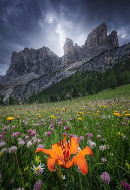ITA16418AW Orange livy Lilium Bulbiferum and other wild flowers growing in Val Gardena, Dolomites, Italy.