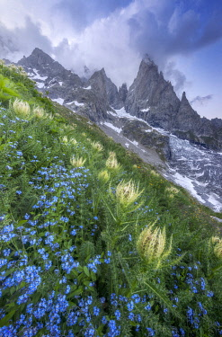 ITA16425AW Thistles and blue wild flowers growing beside Freney Glacier Italian Alps.