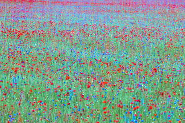 ITA16454AW Red poppys and blue cornflowers growing in a meadow in Umbria, Italy