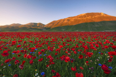 ITA16455AW Red poppys and blue cornflowers growing in a meadow in Umbria, Italy