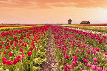 NLD1143AW Windmills and tulip field full of flowers in Alkmaar, Netherland. Warm sunset light.